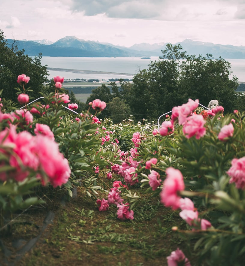 Peony filed blooming overlooking Alaskan bay and mountains.