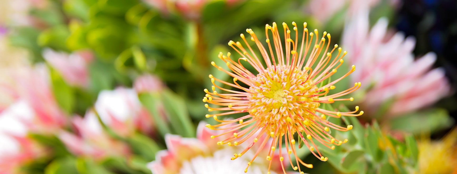 Pincushion and protea flowers.