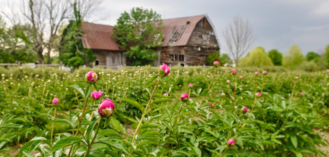 Old run down barn in the distance with peonies growing in front of it.