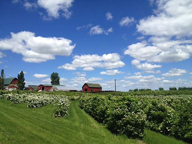 Rows of flowering bushes on a wide open grassy farm with red barns in the distance and a wide open blue sky.