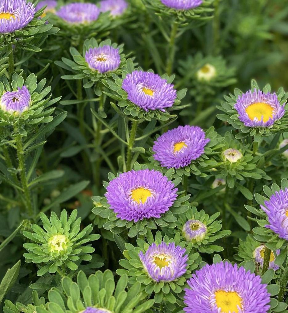 Purple asters in field