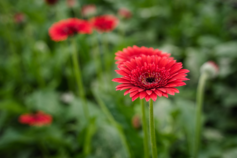 Red Gerbera daisies growing in greenhouse.
