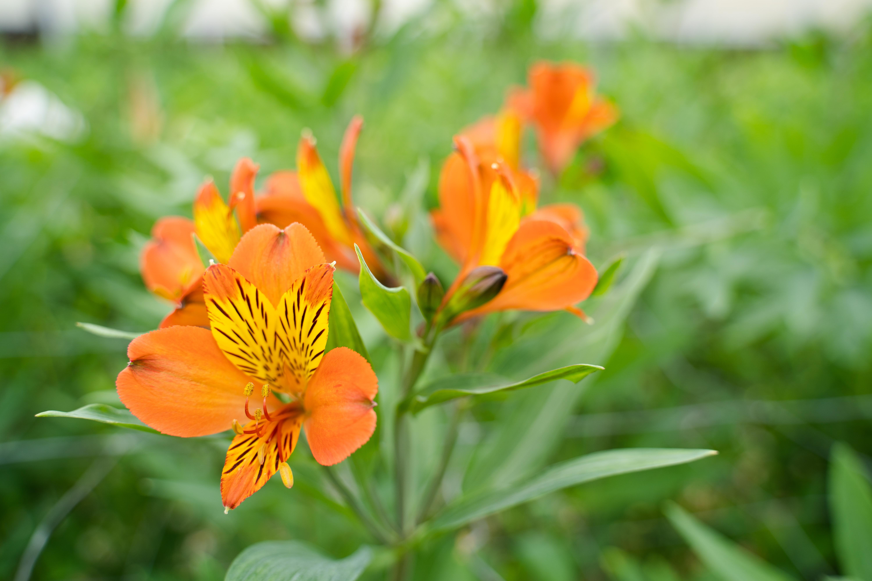 Orange peruvian lilies growing in field.